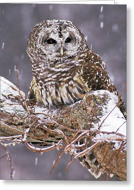 Barred Owl 1 Greeting Card by Mike Goldstein