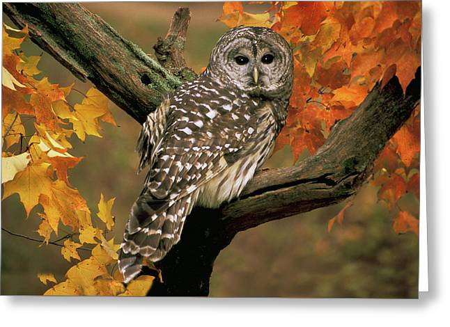 Barred Owl 10 Greeting Card by Mike Goldstein