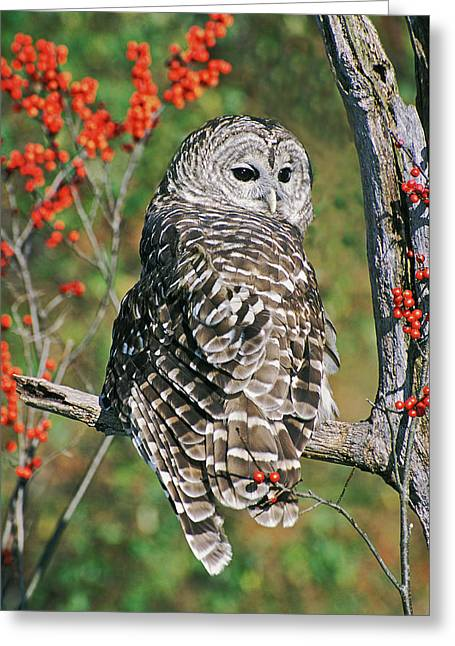 Barred Owl 2 Greeting Card by Mike Goldstein