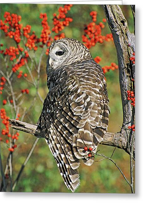 Barred Owl 3 Greeting Card by Mike Goldstein