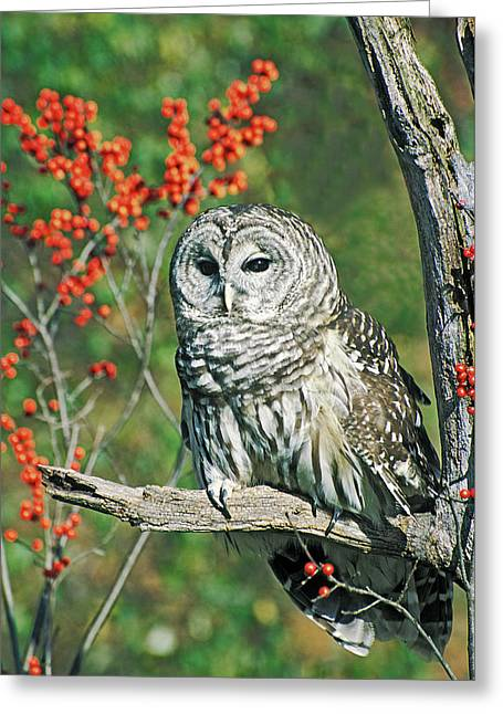 Barred Owl 4 Greeting Card by Mike Goldstein