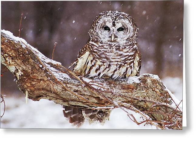 Barred Owl 6 Greeting Card by Mike Goldstein