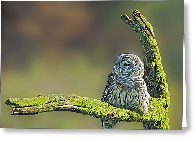 Barred Owl 7 Greeting Card by Mike Goldstein