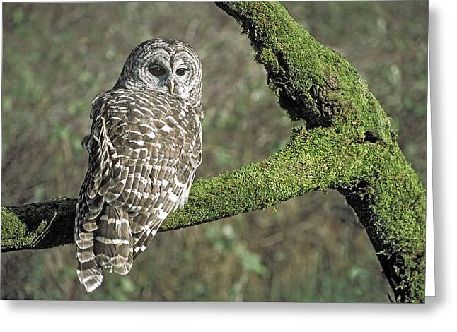 Barred Owl 8 Greeting Card by Mike Goldstein
