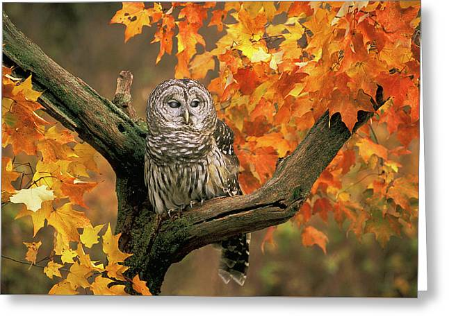 Barred Owl 9 Greeting Card by Mike Goldstein