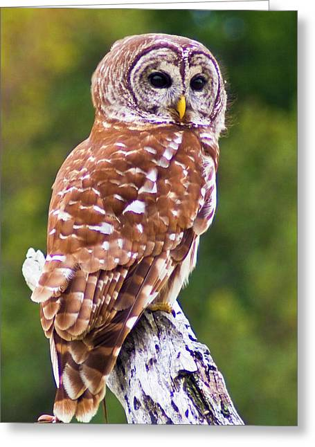 Barred Owl Greeting Card by Bill Barber