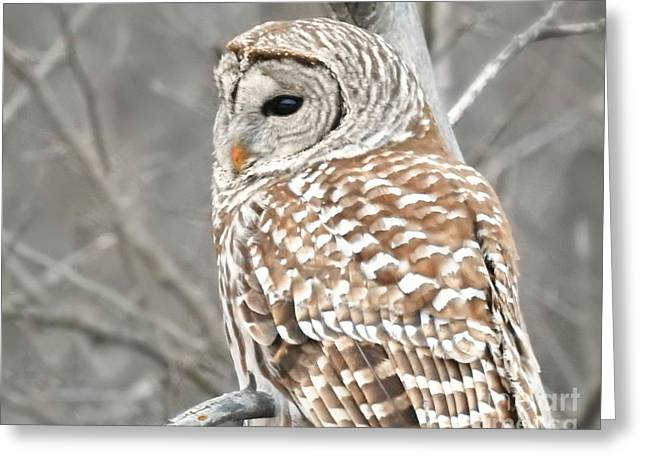 Barred Owl Close-up Greeting Card by Kathy M Krause