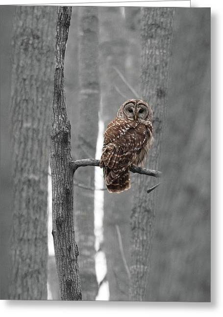 Barred Owl In Winter Woods #1 Greeting Card
