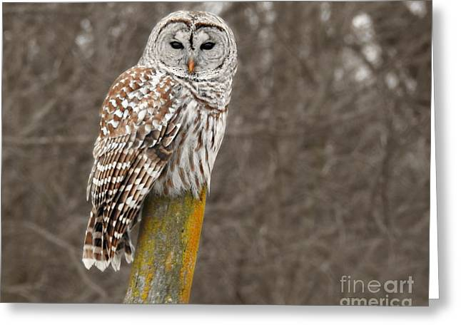 Barred Owl Greeting Card by Kathy M Krause