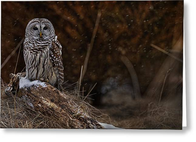 Greeting Card featuring the photograph Barred Owl On Log by Michael Cummings