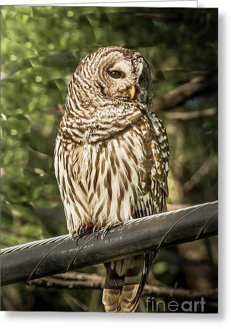 Barred Owl Greeting Card by Robert Frederick