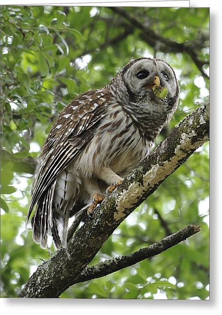 Barred Owl With A Snack Greeting Card by Keith Lovejoy