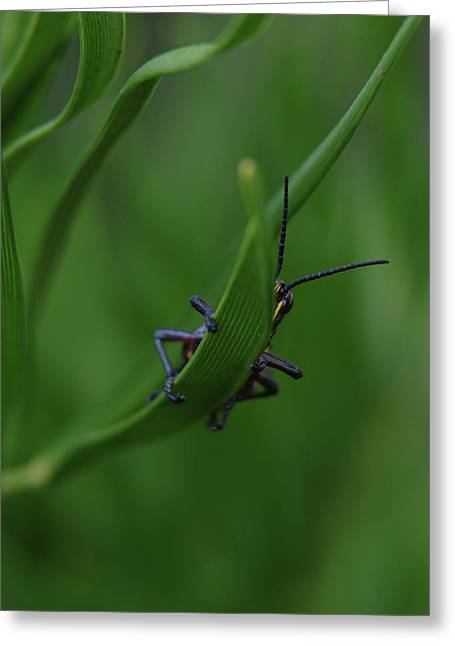 Bashful Grasshopper Greeting Card by Richard Rizzo