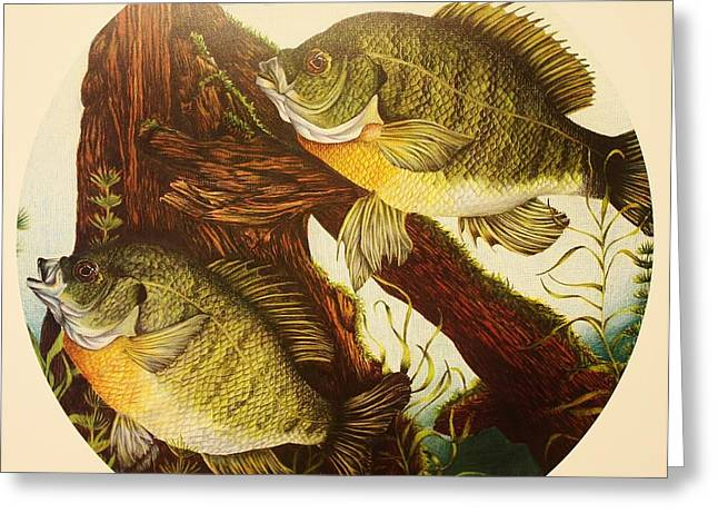 Prisma Colored Pencil Drawings Greeting Cards - Basking Bluegills Greeting Card by Bruce Bley