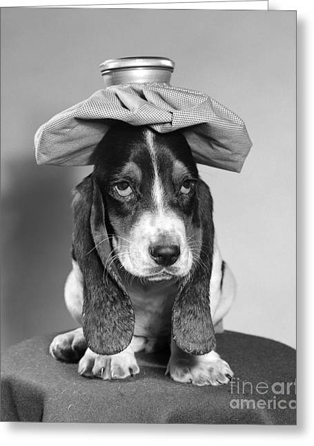 Basset Hound With Ice Pack Greeting Card by D. Corson/ClassicStock