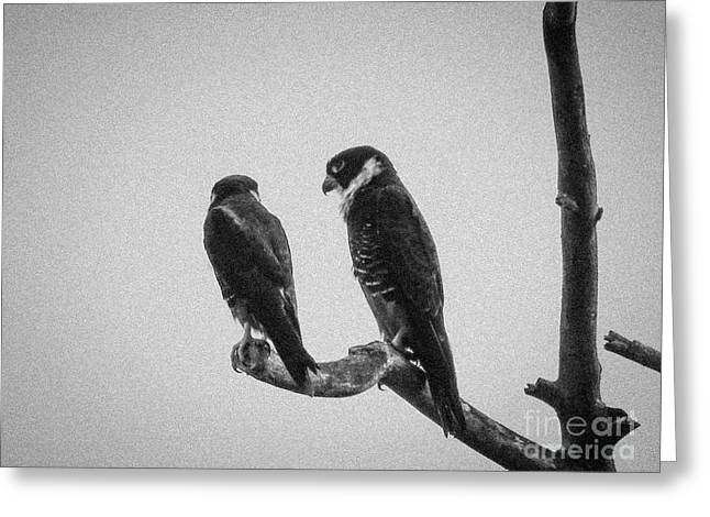 Bat Falcon In Black And White Greeting Card