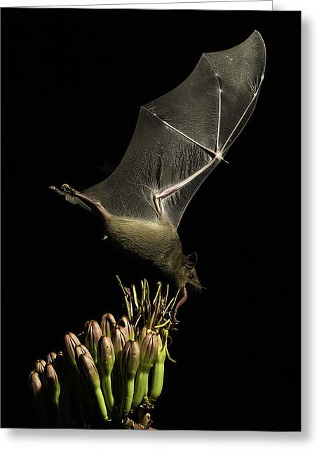 Bat In Flight Greeting Card by Marie Elise Mathieu