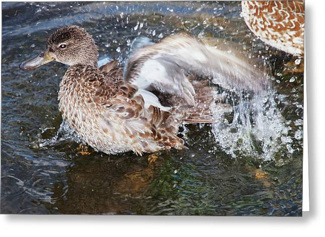 Bathing Duck Greeting Card