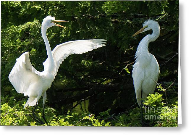 Battle Of The Egrets Greeting Card