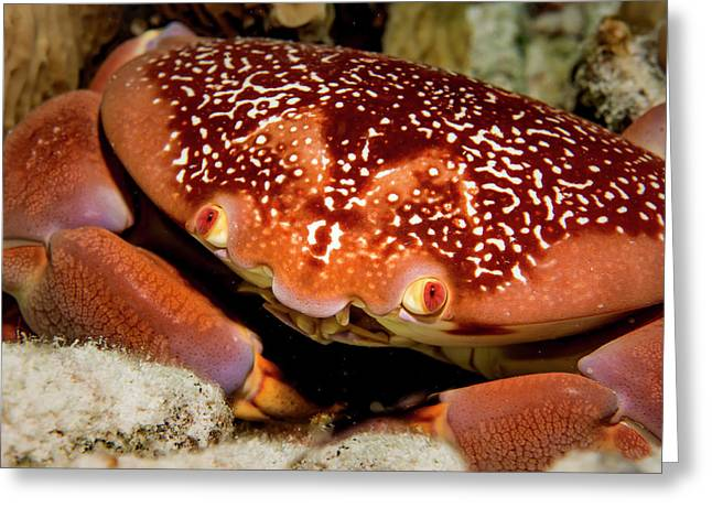 Batwing Coral Crab Closeup Greeting Card by Jean Noren