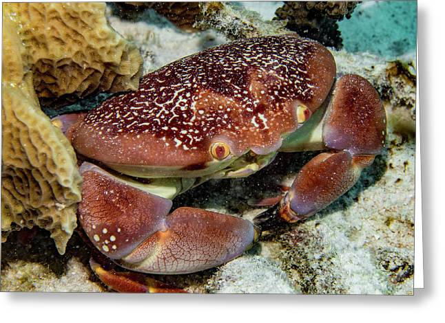 Batwing Coral Crab Greeting Card by Jean Noren