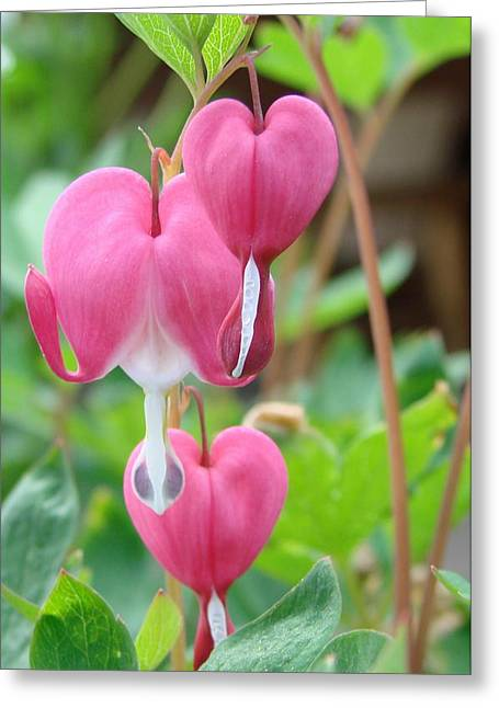 Greeting Card featuring the photograph Be Still My Little Bleeding Heart by Margaret Bobb