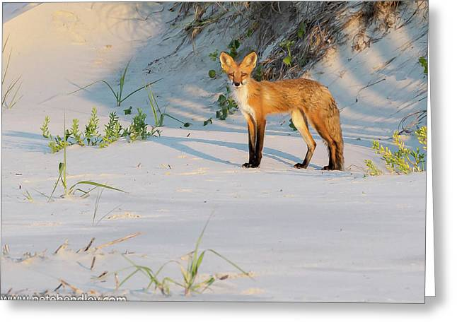 Beach Fox #3 Greeting Card