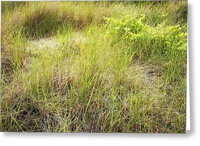 Beach Grasses Number 8 Greeting Card