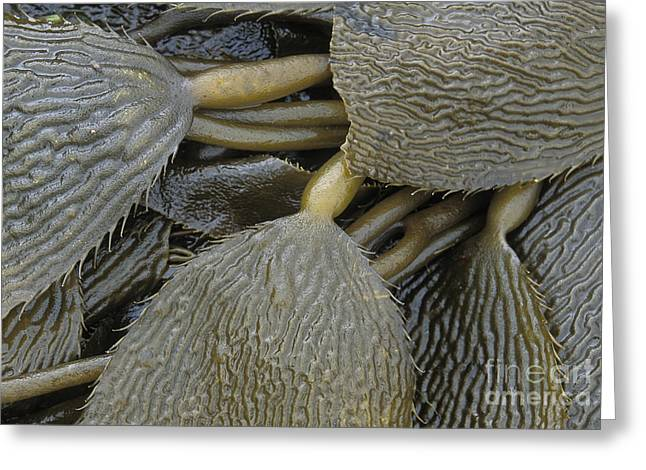 Beached Kelp Greeting Card by Tim Grams