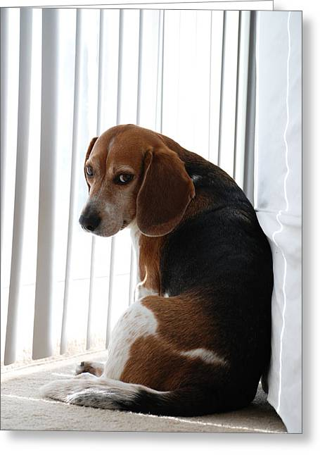 Beagle Attitude Greeting Card by Jennifer Ancker