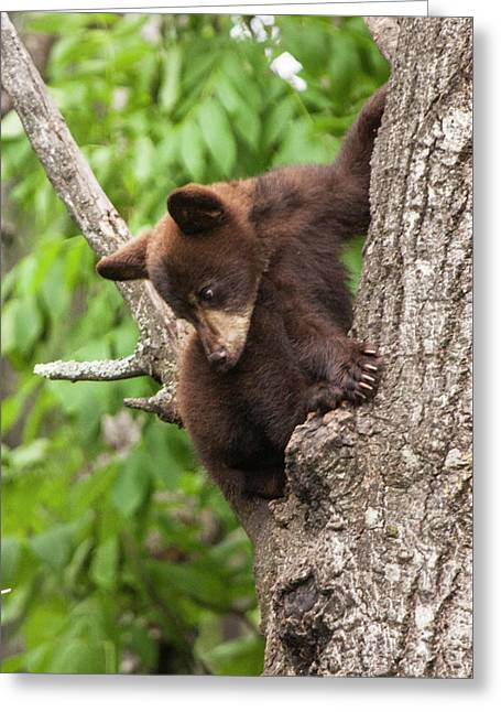 Bear Cub In A Tree Looking Down Greeting Card by Randall Nyhof