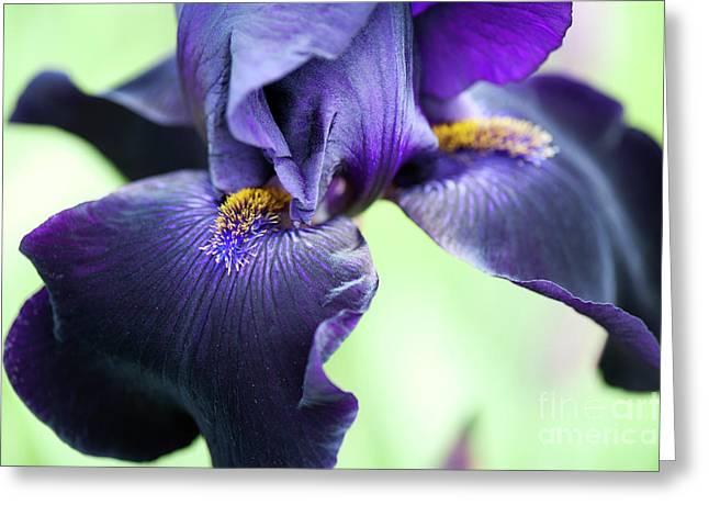 Bearded Iris Interpol Flower Greeting Card