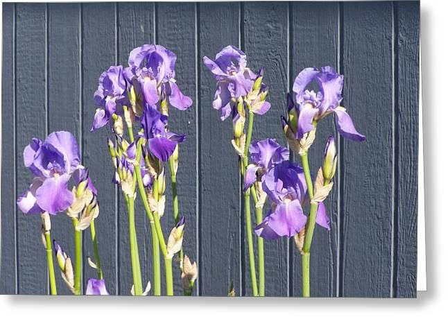 Bearded Iris  Greeting Card by Laurie Kidd