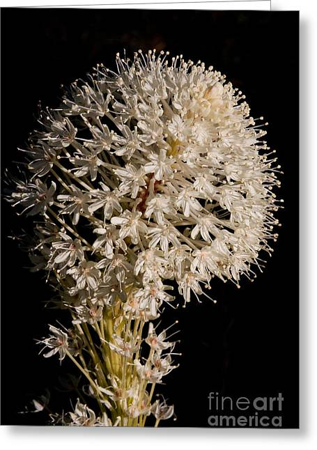 Beargrass Torch Greeting Card