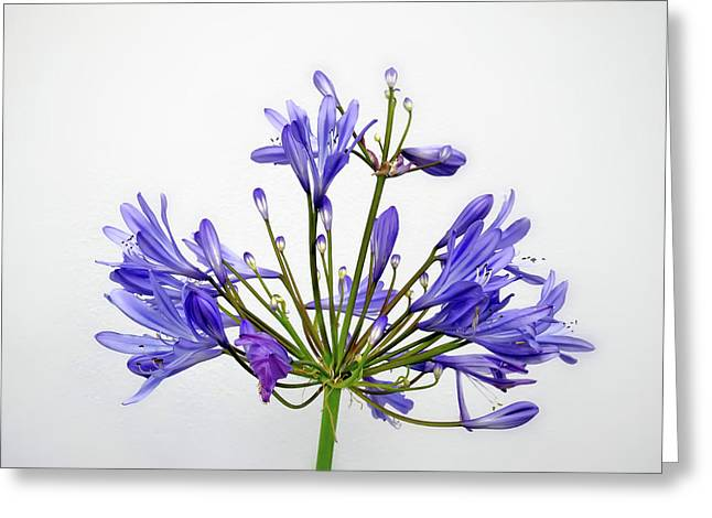 Beautiful Agapanthus Flower - The Blue Trumpets Are Perfectly Lit By Natural Daylight Greeting Card