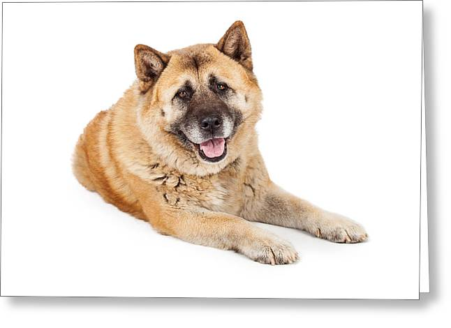 Beautiful Akita Dog Laying Greeting Card