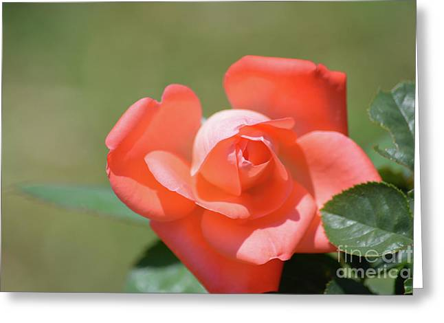 Beautiful Apricot Color Rose  Greeting Card by Ruth Housley