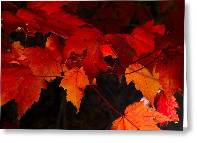 Beautiful Backlit Autumn Maple Leaves Greeting Card by Darrell Young
