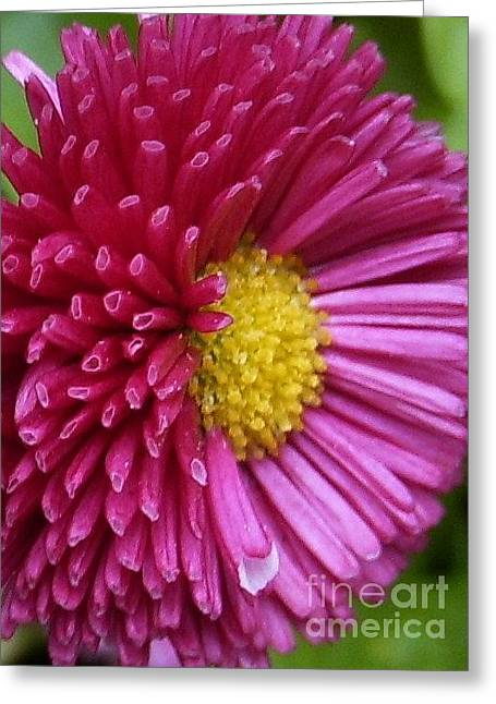 Beautiful Bellis Greeting Card by Deborah Brewer