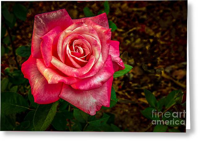 Beautiful Bicolor Rose Greeting Card by Robert Bales