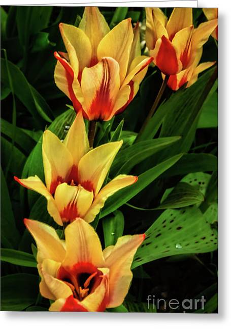 Greeting Card featuring the photograph Beautiful Bicolor Tulips by Robert Bales