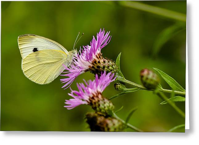 Beautiful Butterfly On Pink Thistle Greeting Card