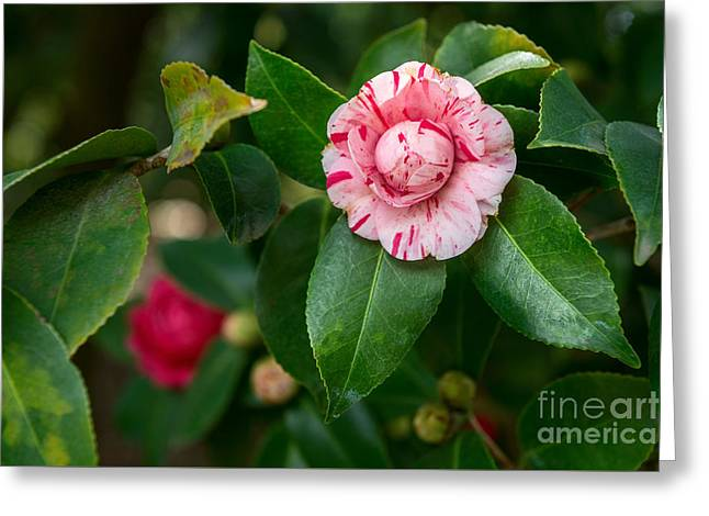 Beautiful Camellia Marischino Flower. Greeting Card