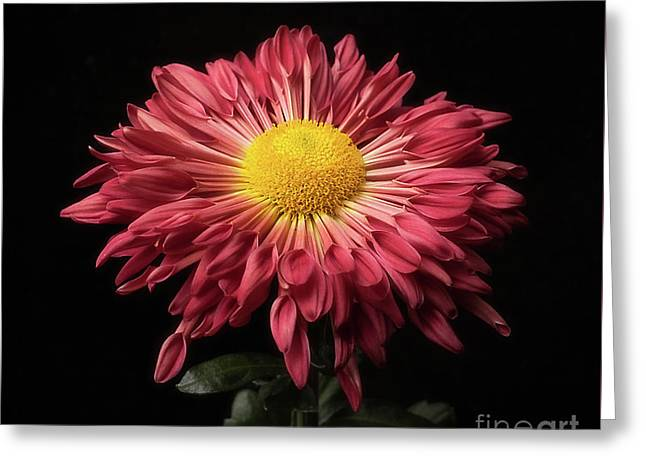 Beautiful Chrysanthemum Greeting Card