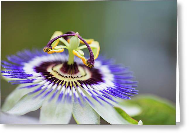 Beautiful Close Up Image Of Passion Flower On The Vine Greeting Card