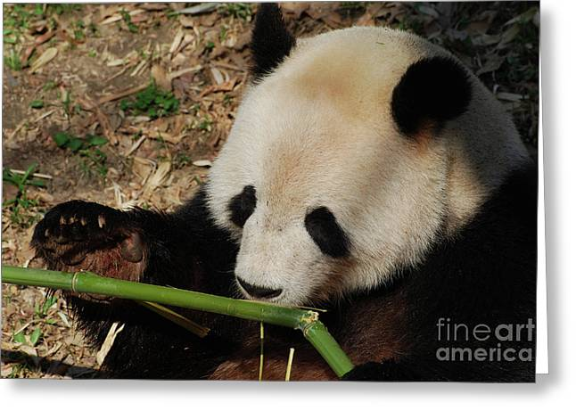 GORGEOUS GIANT PANDA FINE ART GREETING CARD