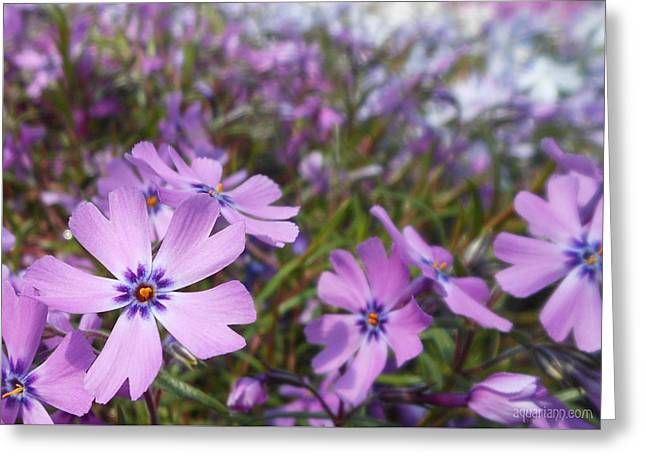 Beautiful Creeping Purple Phlox Greeting Card