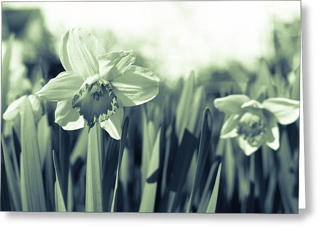 Beautiful Daffodil Greeting Card