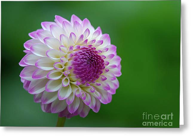Beautiful Dahlia 1 Greeting Card