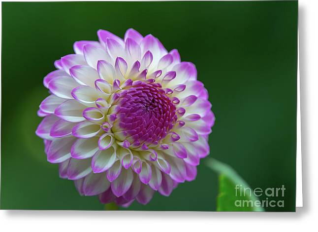 Beautiful Dahlia 2 Greeting Card